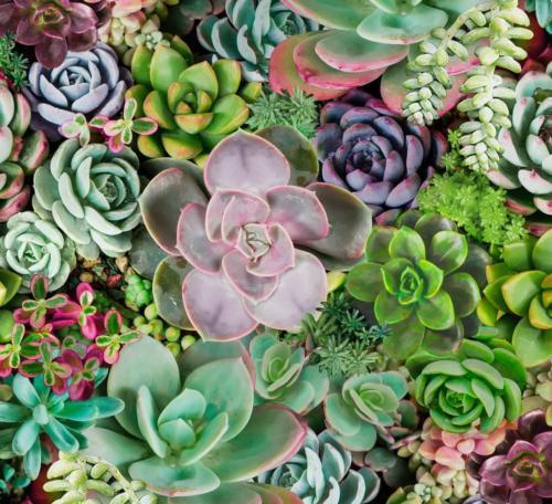 Succulents Spring / Suculentas Primavera
